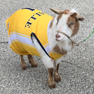 Image of a goat from the Philly Goat Project on the campus of La Salle University.